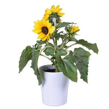 Helianthus 'Sunsation' Multiflower in wit Bombé keramiek