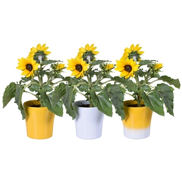 Helianthus 'Sunsation' Multiflower in geel/2tone/wit Bombé Keramiek