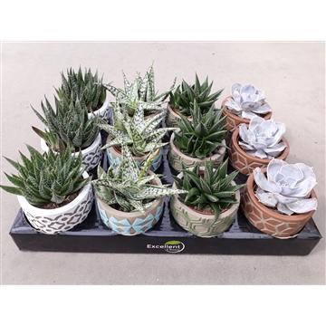 Succulent in Pamm keramiek