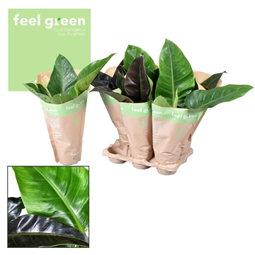 Philodendron mix Imperial Green & Red in Kraft hoes Feel Green