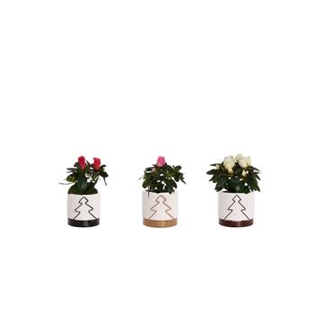 Azalea 6 cm mix in Tree pot - Glam Empire
