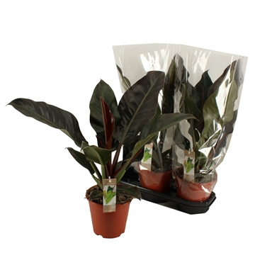 Philodendron Imperial Red 19 cm