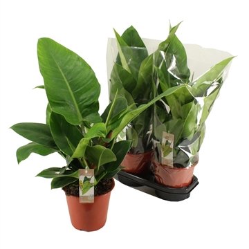 Philodendron Imperial Green 19 cm