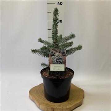 Picea pungens 'Super Blue' ®
