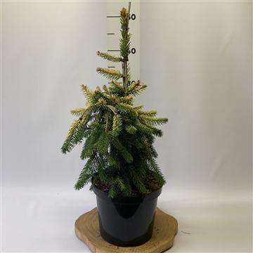 Picea abies 'Golddrift'