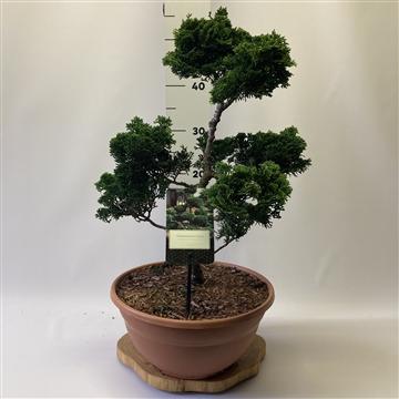 Chamaecyparis obtusa 'Nana Gracilis' Bonsai