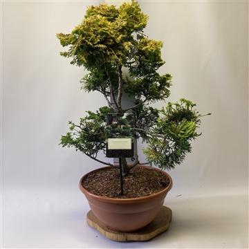 Chamaecyparis obtusa 'Sunspray' Bonsai