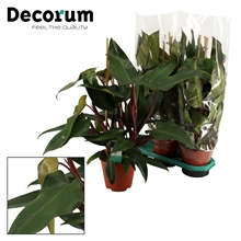Philodendron New Red Piramide 19 cm