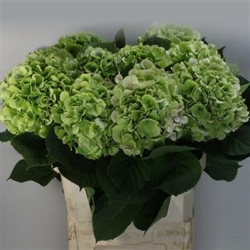 Verena classic groen 80cm