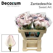 Zantedeschia Sweet Art