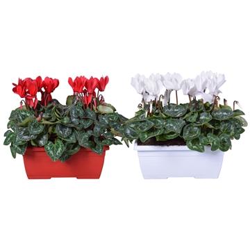 Cyclamen rood/wit in duobakje (Kerst)