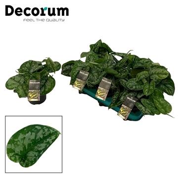 DECORUM Scindapsus (Epripremnum) Trebie