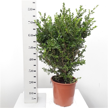 Buxus microphylla 'Faulkner' 50-6cm struik extra