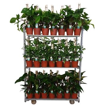 Philodendron Exclusieve Piramide Mixkar 19 cm