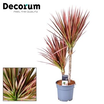 Drac Colorama 30-10 cm stam (Decorum)