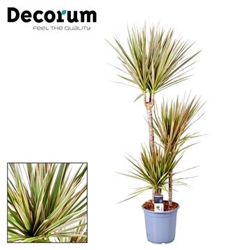 Dracaena Bicolor 60-30-15 cm stam (Decorum)