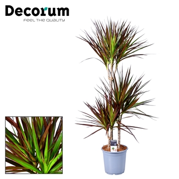 Drac Magenta 60-30-15 cm stam (Decorum)