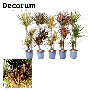 Dracaena marg. 60-30-15 cm stam mix (Decorum)