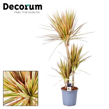 Drac Tricolor 60-30-15 cm stam (Decorum)