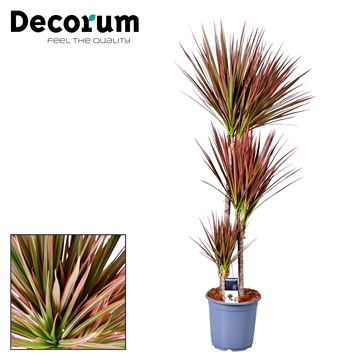 Drac Colorama 60-30-15 cm stam (Decorum)