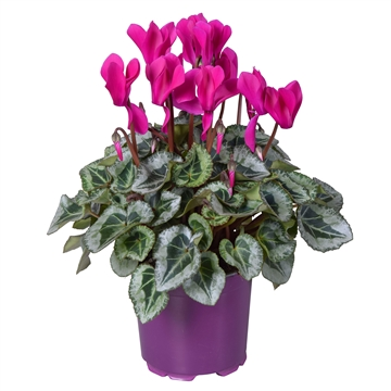 Cyclamen Super Serie Rembrandt paars