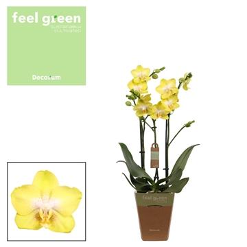Phal. Arezzo - 3 spike 12cm Feel Green