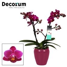 Phalaenopsis  Purple princes 2 tak vertakt Paars Keramiek Decorum