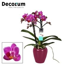 Phalaenopsis  Puebla 2 tak vertakt  Paars Keramiek Decorum