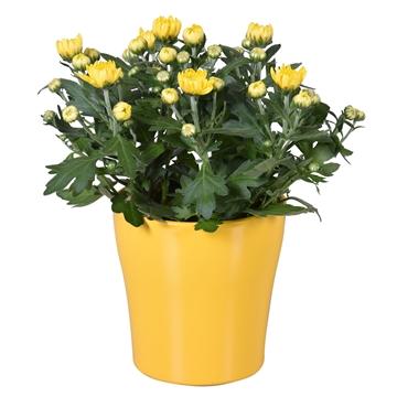 "Chrysanthemum in Geel ""Bombé"" keramiek"