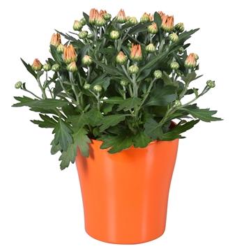 """Chrysanthemum in Oranje """"Bombé"""" keramiek"""