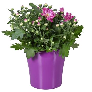 """Chrysanthemum in Paars """"Bombé"""" keramiek"""