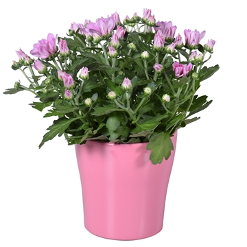 "Chrysanthemum in Roze ""Bombé"" keramiek"