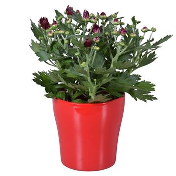"Chrysanthemum in Rood ""Bombé"" keramiek"