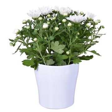 "Chrysanthemum in wit ""Bombé"" keramiek"