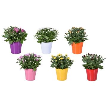 "Chrysanthemum in Gemengd ""Bombé"" keramiek"
