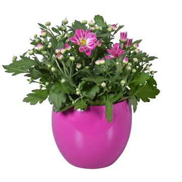 """Chrysanthemum in Paars """"Lisa"""" keramiek"""