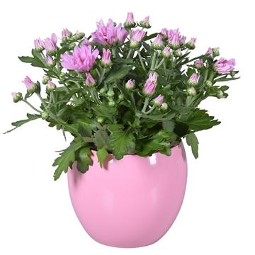 """Chrysanthemum in Roze """"Lisa"""" keramiek"""