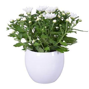 "Chrysanthemum in Wit ""Lisa"" keramiek"