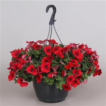 Hpot Petunia Rood