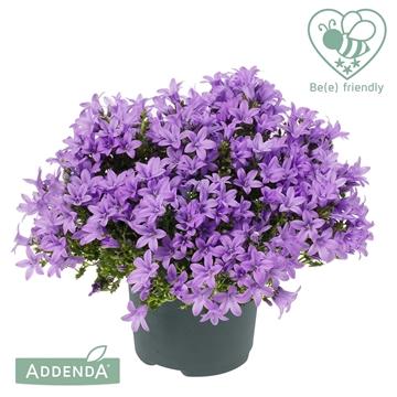 Campanula Ambella® Lavender
