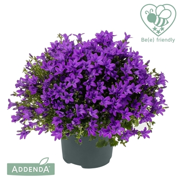 Campanula Ambella® Intens Purple