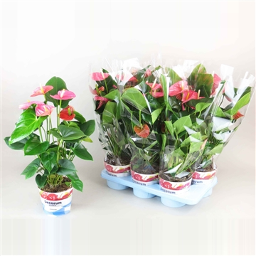Anthurium Amis pot 17 GROOTBLOEMIG ROZE