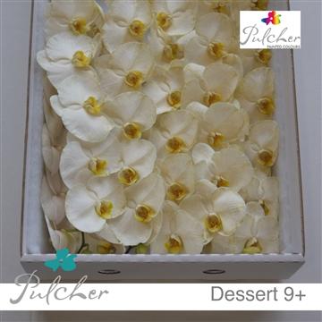 Phalaenopsis Painted Dessert 9+