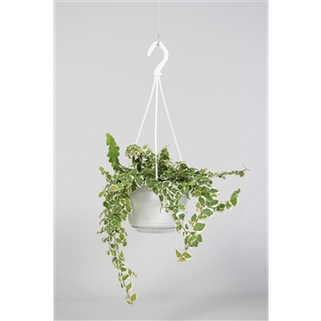 Ficus Sunny white in hangpot