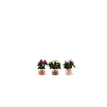 Azalea 6 cm mix in Joy - Moments