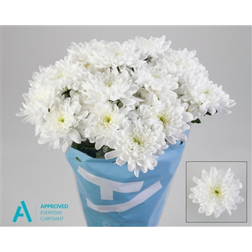 Chrysant Tros  Baltica White - Approved