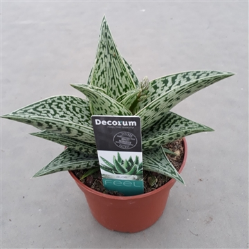 Aloe variegata 'Tribal'