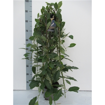 Salix caprea 'Kilmarnock' 60cm stam C3