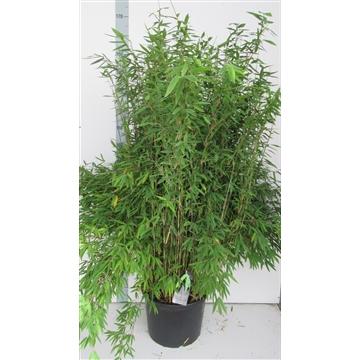 Fargesia nitida 'Volcano'  -  Niet-woekerende Bamboe - 25Liter container