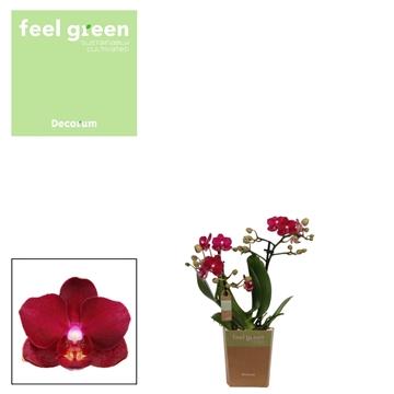 Phal. Crimson - 2 spike 9cm Feel Green
